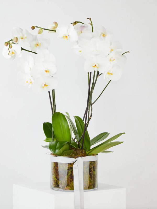 Flowering Orchid Plant
