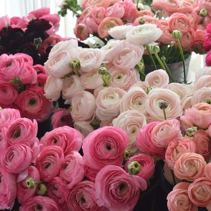 pink ranunculas